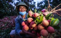 Chùm ảnh: Người dân Lục Ngạn soi đèn pin thu hoạch vải xuyên đêm