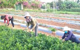 Quảng Ngãi: Hội phụ nữ hỗ trợ các gia đình cách ly y tế thu hoạch nông sản