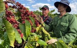 Gắn kết với người nông dân nâng cao chất lượng cà phê Việt Nam