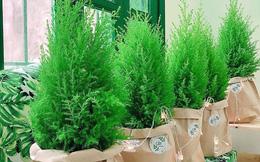 Cây thông tươi mini được ưa chuộng trong mùa Noel