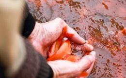 Làng Thủy Trầm tất bật cung cấp hàng nghìn con cá chép đỏ cho lễ cúngông Công ông Táo