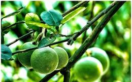 Cây chanh vài chục năm tuổi, cao hơn mái nhà cung cấp trái tươi quanh năm cho nhiều đảo ở Trường Sa