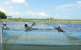 Sản xuất cua lột theo mô hình bền vững, cải thiện môi trường nuôi trồng thủy sản