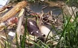 Quảng Nam: Xác lợn thối rữa trôi đầy kênh thuỷ lợi
