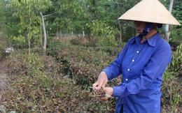 Hàng trăm hécta chè chết cháy, nông dân Nghệ An oằn mình chống hạn