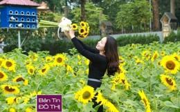 Dân thủ đô nô nức chụp ảnh vườn hướng dương ở Hoàng thành Thăng Long
