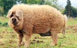 Những giống lợn kỳ lạ trên thế giới tồn tại đến ngày nay