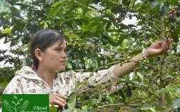 Giúp hội viên giảm nghèo với sáng kiến trồng cà phê xứ lạnh