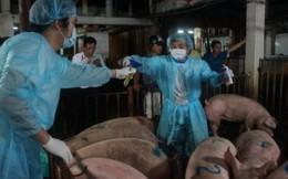 Năm 2016 xử lý dứt điểm việc dùng chất cấm trong chăn nuôi