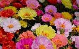 Trồng 5 loại cây này ngay, bạn sẽ có hoa nở rực rỡ đúng chiều 30 Tết