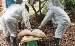 Trong 1 ngày có thêm 2 tỉnh bị dịch tả lợn châu Phi tấn công
