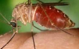 Loại muỗi mới truyền virus Zika có ở Việt Nam