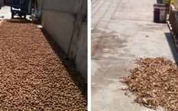 Vô tư phơi dược liệu trên đường đầy bụi bặm ở Ninh Hiệp