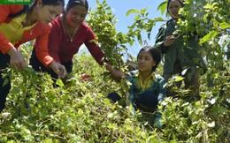 Giảm nghèo bền vững từ mô hình liên kết trồng hồng đẳng sâm