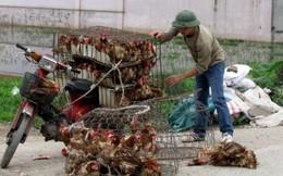 1,6 tấn gà nhập lậu từ Trung Quốc 'tuồn' vào Việt Nam