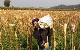 Mùng 5 Tết, nông dân nô nức xuống đồng mong vụ mùa bội thu