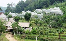 Trồng cam rầm rộ tại Hà Tĩnh: Tiềm ẩn rủi ro