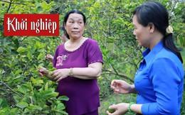 Nữ Đảng viên giúp chị em làm giàu nhờ cây chanh không hạt