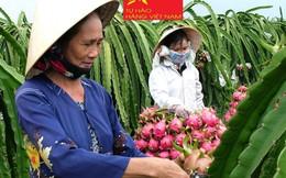 Giá thanh long Bình Thuận tăng vọt nhờ 'chỉ dẫn địa lý'
