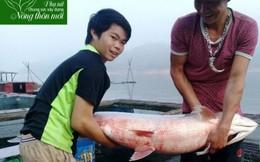 Nuôi cá đặc sản theo chuẩn VietGap trên lòng hồ sông Đà