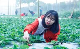 Check-in vườn dâu tây 2.500m2 chín mọng giữa lòng Hà Nội