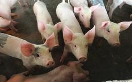 Giá lợn hơi tại miền Bắc giảm sâu vì dịch tả lợn châu Phi