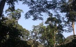 Rừng nghiến nghìn năm sót lại ở Hà Giang
