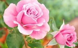 Tìm lại tình yêu đã mất nhờ sức mạnh của những bông hồng