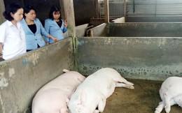 Long An công bố bệnh dịch tả lợn châu Phi trên địa bàn