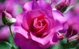 Hà Nội sắp có công viên hoa hồng rộng 22 ha