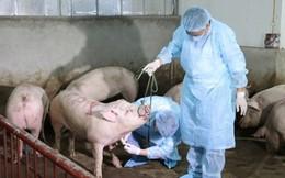 Bộ Nông nghiệp đưa dịch tả lợn Châu Phi vào Danh mục bệnh động vật phải công bố dịch