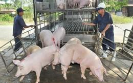 Hỗ trợ người chăn nuôi bị dịch tả lợn châu Phi mức cao nhất