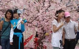 100 cây anh đào Nhật Bản sắp nở hoa tại Hà Nội