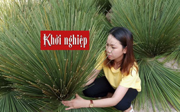 Tận dụng cỏ bàng để sản xuất túi xách, ống hút