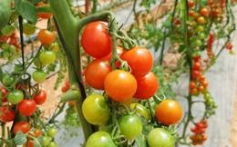 3 loại cà chua siêu lạ hút du khách khi tới Đà Lạt
