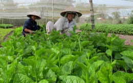 11 vườn rau tại TP.HCM bị thu hồi chứng nhận VietGap