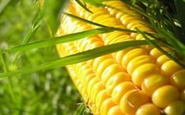 Thực phẩm biến đổi gene: Rẻ một nửa, lo gấp đôi