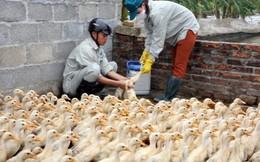 Cúm gia cầm A/H5N6 có khả năng lây sang người quay trở lại Việt Nam