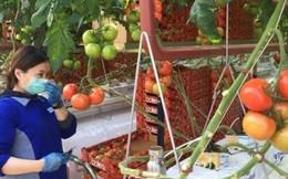 Úc có nhà kính trồng cà chua bằng nước biển