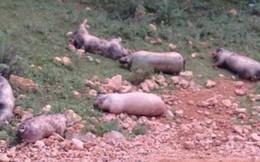 Nạn lợn chết 'khủng bố' dân vùng biên Lạng Sơn