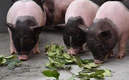 Gà hoa hồng, lợn trà xanh giá đắt khét vẫn khó mua