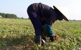 Một nông dân ở Hà Tĩnh tử vong khi thu hoạch lạc trong nắng nóng đỉnh điểm