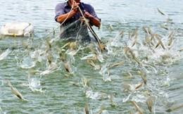 Người nuôi tôm Cà Mau đã mất 260 tỷ đồng