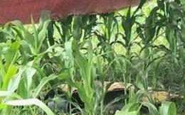 Một phụ nữ bị sét đánh tử vong giữa cánh đồng ngô