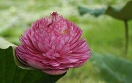 Sen nghìn cánh giá cả triệu vẫn được những người yêu hoa lùng sục khắp chợ mạng mua về trồng