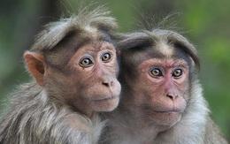 Khỉ Ấn Độ xông vào phòng lab ăn trộm 3 mẫu thí nghiệm Covid-19
