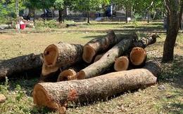 Một trường học bị kiểm điểm do chặt cây cổ thụ đang tươi tốt