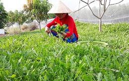 Cây sa sâm Việt Nam giúp cải thiện tình trạng thiếu hụt nội tiết tố ở nữ giới