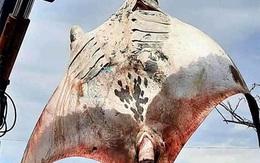 """Ngư dân Bình Thuận bắt được """"quái vật đại dương"""" nặng 800 kg"""