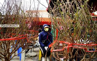 Hoa nở sớm 1 tháng, người trồng đào Nhật Tân phải cắt cành bán trước Tết